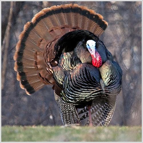 Wild Turkey Tom