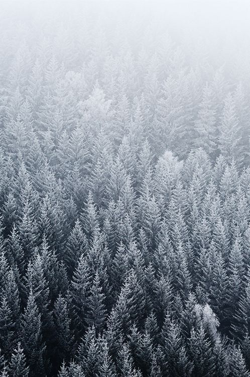 snowy fir trees forest - photo #43