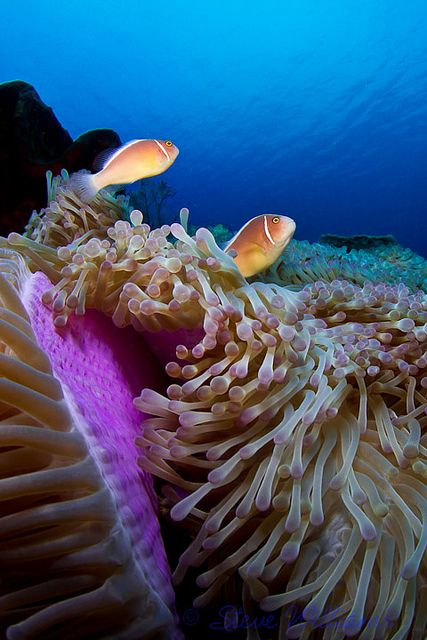 Pink anemonefish and their host