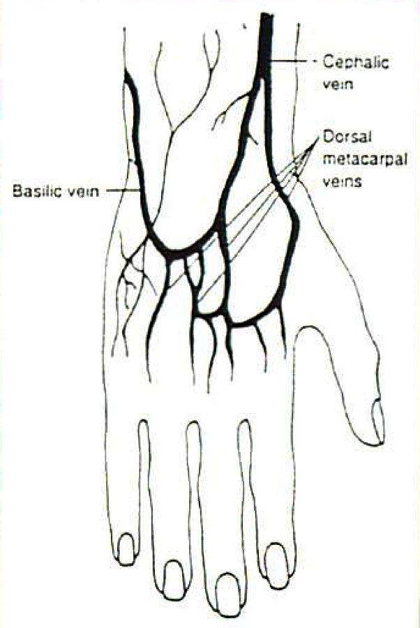 similiar hand vein anatomy keywords, Cephalic Vein