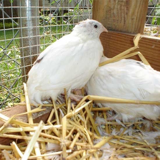 Backyard Quail Production : Raising quail in the city! Eggs, baby!  Quack, squeak, squawk and oh