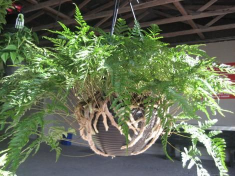 rabbits foot fern | ~bringing the outdoors in~ | Pinterest
