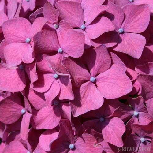 Pink Hydrangea is a beautiful flower which is often incorporated into bouquets and arrangements of wedding flowers. As a cut flower, Pink Hydrangea is available out of California from about May - October. Shop online at GrowersBox.com.