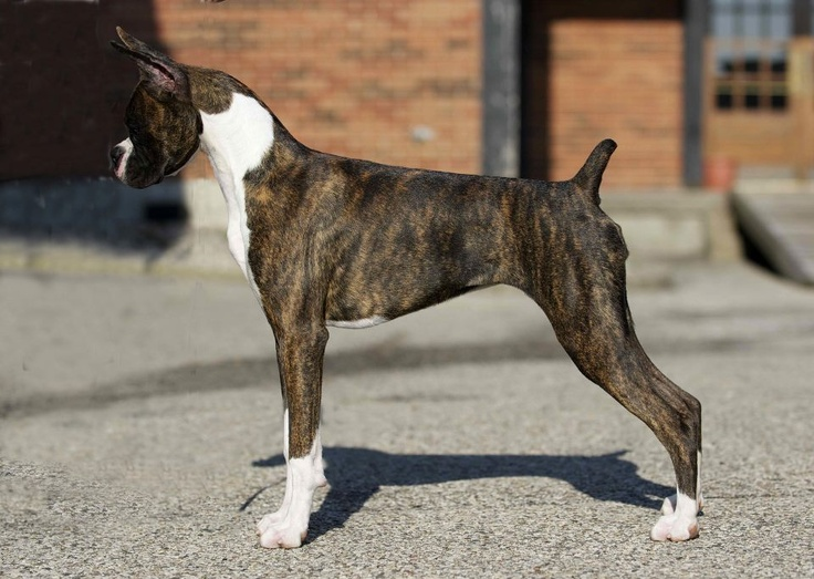 Brindle boxer profile pets i want pinterest for Brindle boxer