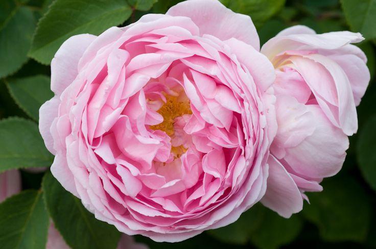 rosa constance spry david austin english rose. Black Bedroom Furniture Sets. Home Design Ideas
