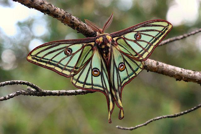 Spanish Moon Moth