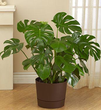 Philodendron Monstera Floor Plant Indoor Gardens Pinterest