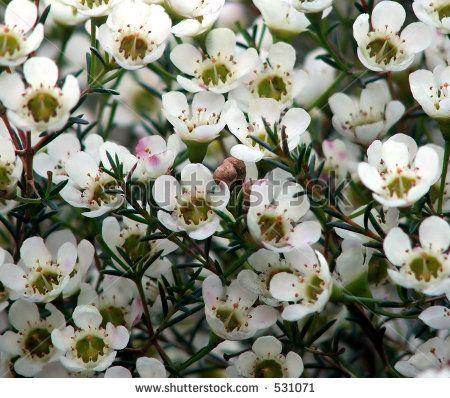 Flower Growing Zones White Wax Flower
