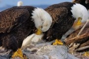 memorial day eagle images