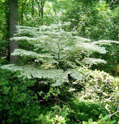 Variegated DogwoodVariegated Dogwood Tree