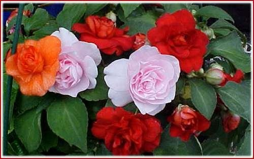Alegria del hogar doble flores jardines arboles plantas - Planta alegria del hogar ...