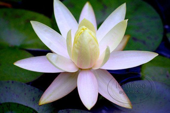 Lotus flower at japanese gardens for Flowers for japanese garden