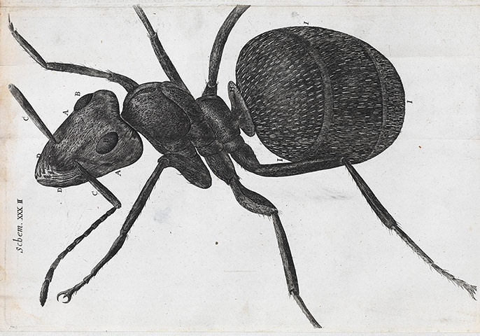 A microscopic view of an ant from Robert Hooke's Micrographia: Or Some Physiological Descriptions of Minute Bodies Made by Magnifying Glasses with Observations and Inquiries Thereupon (1665)