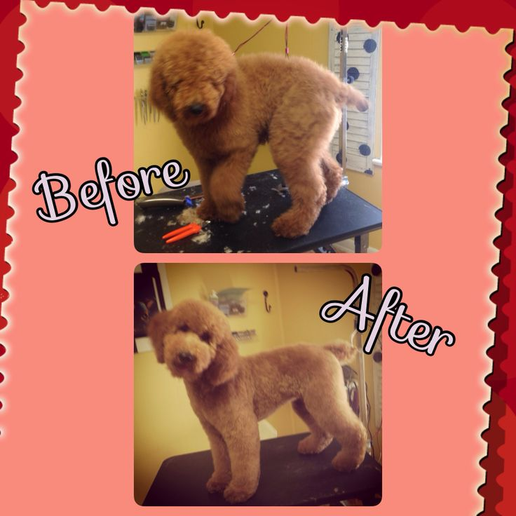 Standard poodle pup groomed at Happy Tails Pet grooming in Cullman Al
