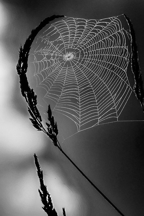 Delicate web in black and white photography
