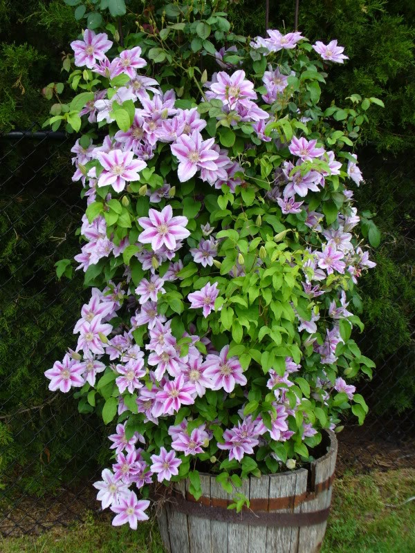 dr ruppel clematis flora for the garden pinterest. Black Bedroom Furniture Sets. Home Design Ideas