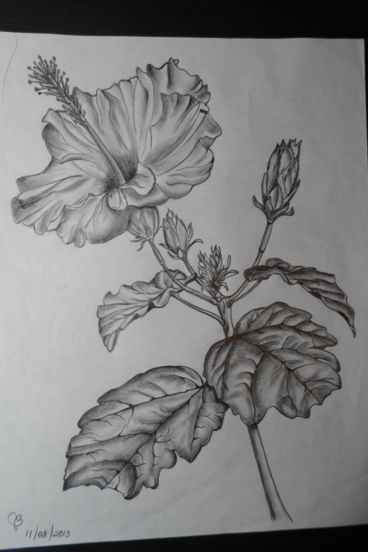 Hibiscus au crayon plomb mes dessins et peintures l - Dessin d hibiscus ...