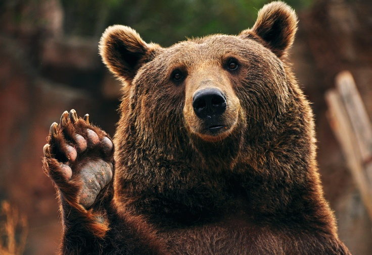 why, hello there | It's Time to Wave Hello | Pinterest Cute Grizzly Bear Waving