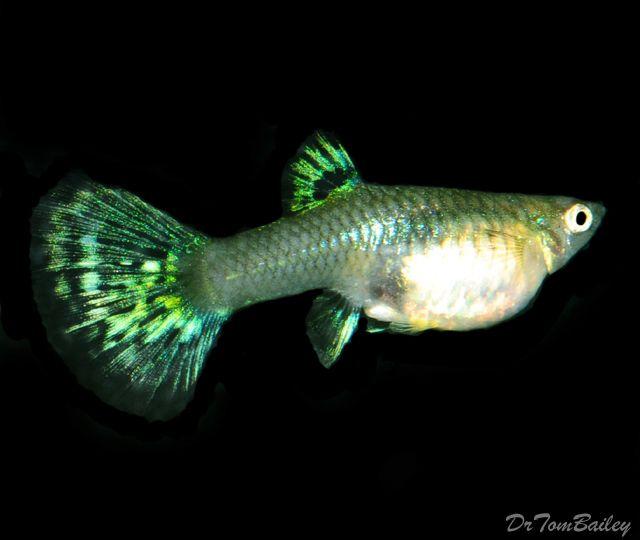 Fancy green guppy female 1fish2fishredfishbluefish for Fancy guppy fish
