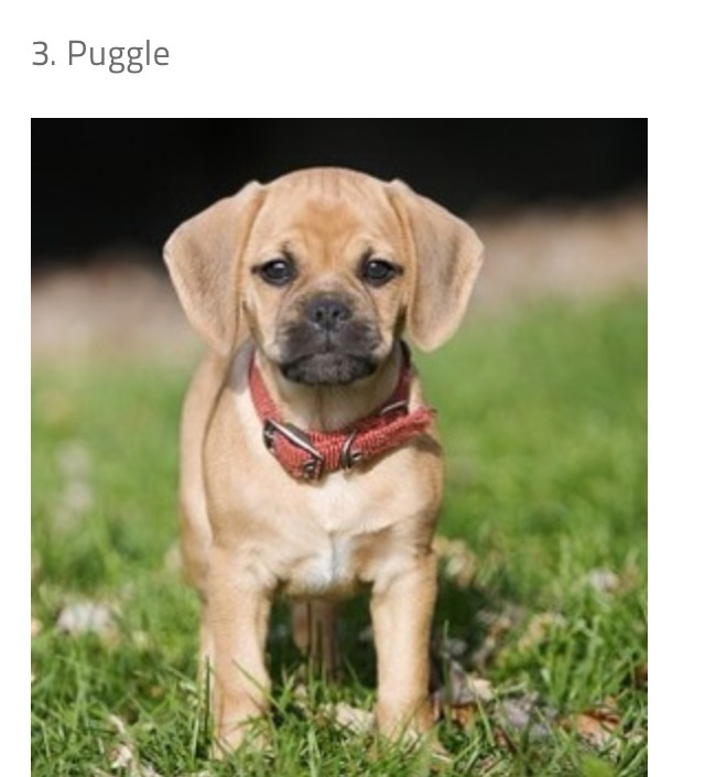 Puggle- beagle/pug mix | Cute puppies and dogs | Pinterest
