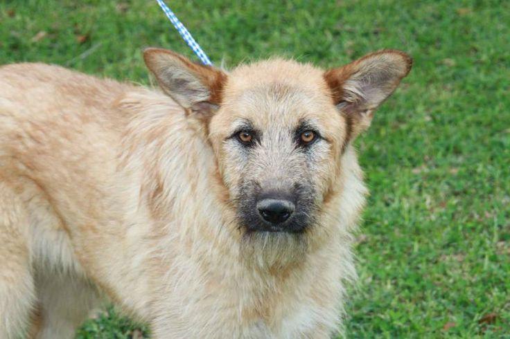... Irish Wolfhound/German Shepherd Dog mix - Brunswick, ME. 10 months old