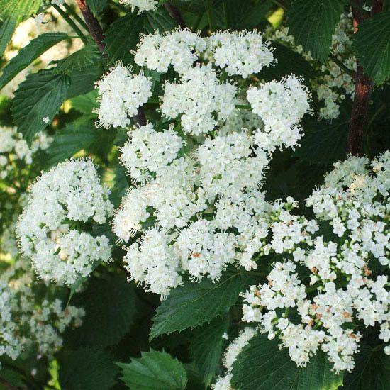 ... foliage in fall. Name: Viburnum dentatum 'Blue Muffin' Zones: 3 - 8