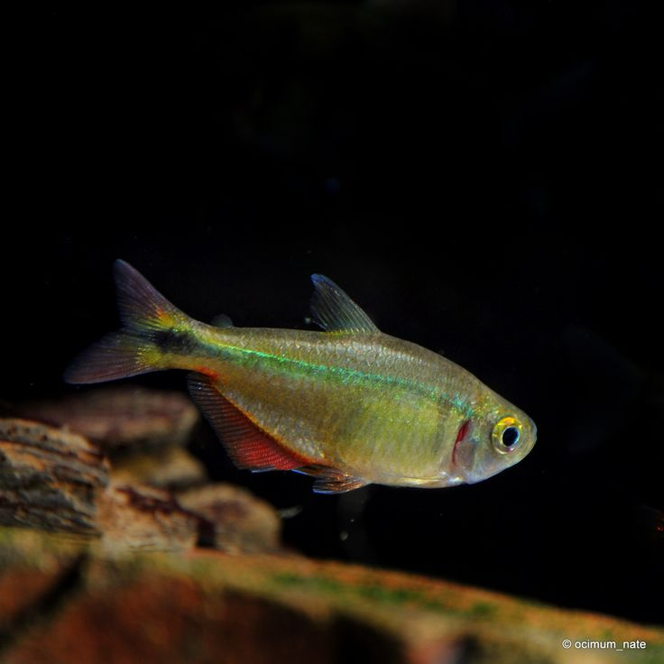 buenos aires tetra by Nate A, via 500px Tropical Fish Pinterest