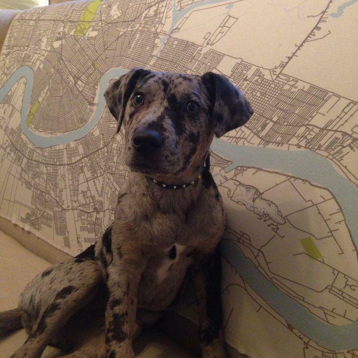 Catahoula puppy - peppa   Things I