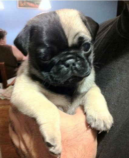 pics 3 Ways to Choose a Pug