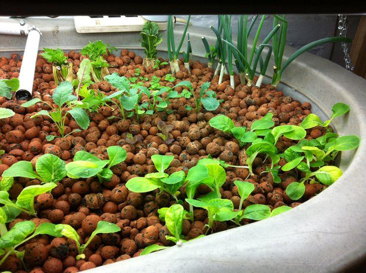 Basement aquaponics raising tilapia gardening pinterest for Tilapia aquaponics
