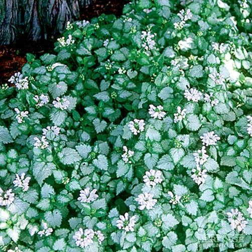 39 white nancy 39 lamium for ground cover cottage garden for Pink flower perennial ground cover