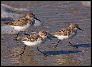 Image result for Sandpiper Bird