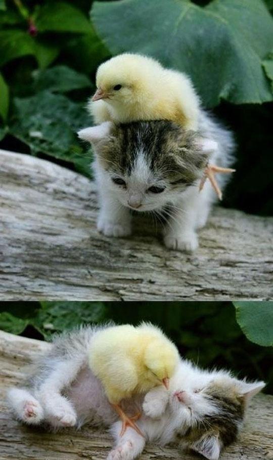 duckling   & kitten wrestling