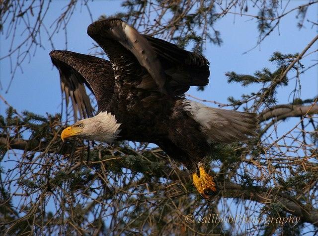 whitehead eagle height