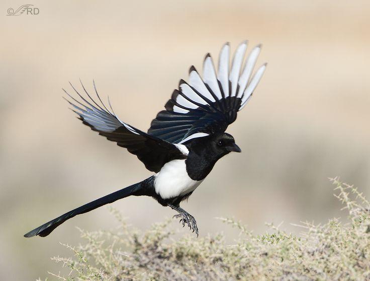 Magpie landing - photo#7