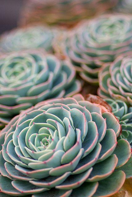 Mexican Snowball. Gorgeous | [plant life] | Pinterest