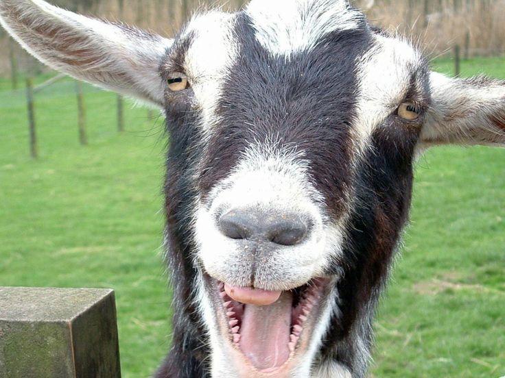 goat smile | funny | Pinterest