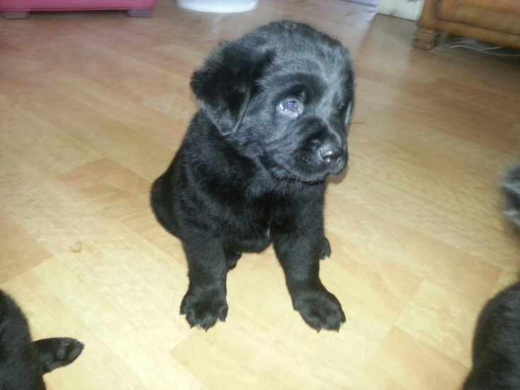 My Newfoundland/lab mix puppy 6weeks old   Newfies & Newfie crosses ...