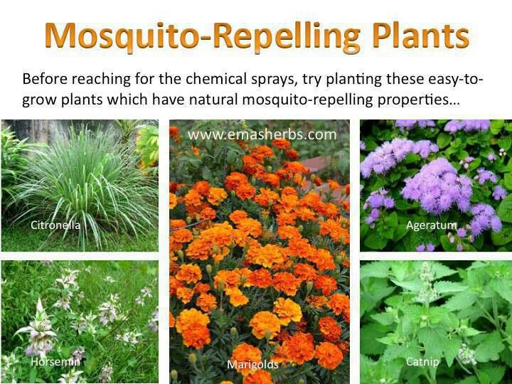 Mosquito Repellent Plants For The Home Pinterest