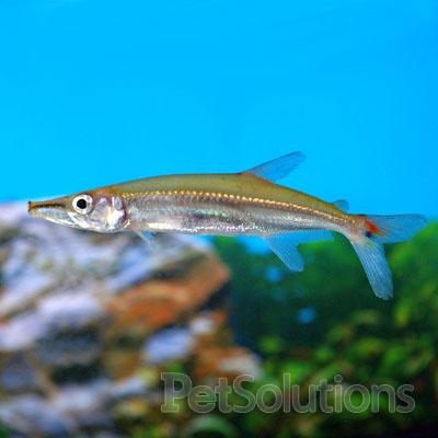 Freshwater fish freshwater fishes pinterest for Semi aggressive fish