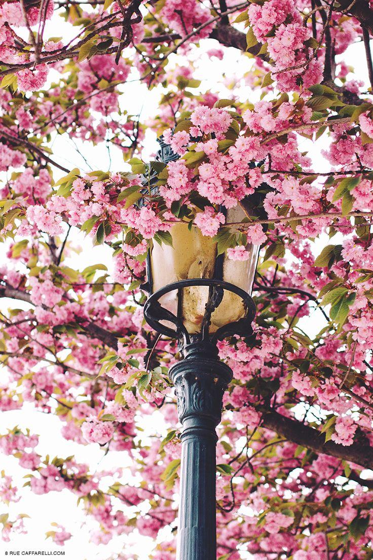 Blossoms in Paris.