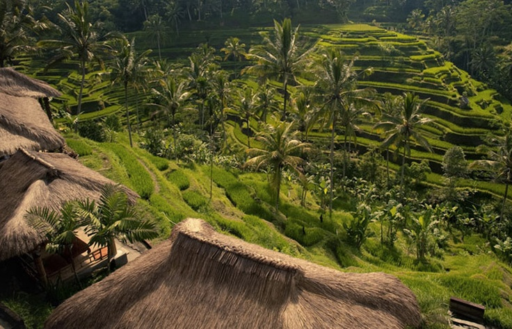 rice terraces / Tegalalang, Bali