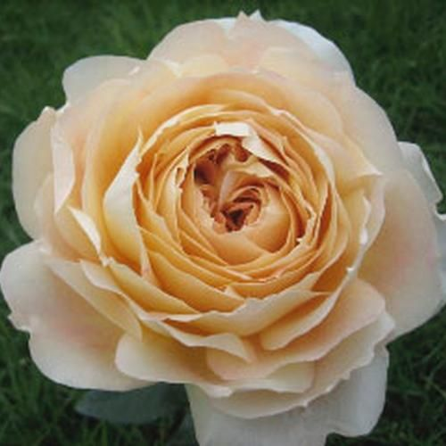 antike garden rose blooms by the box i actually love these roses amp i ...