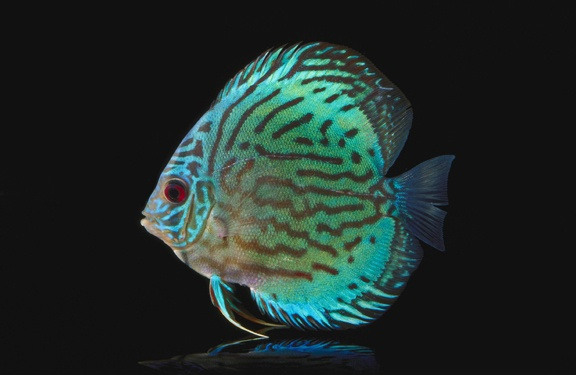 green discus. Awesome Fishes. Pinterest