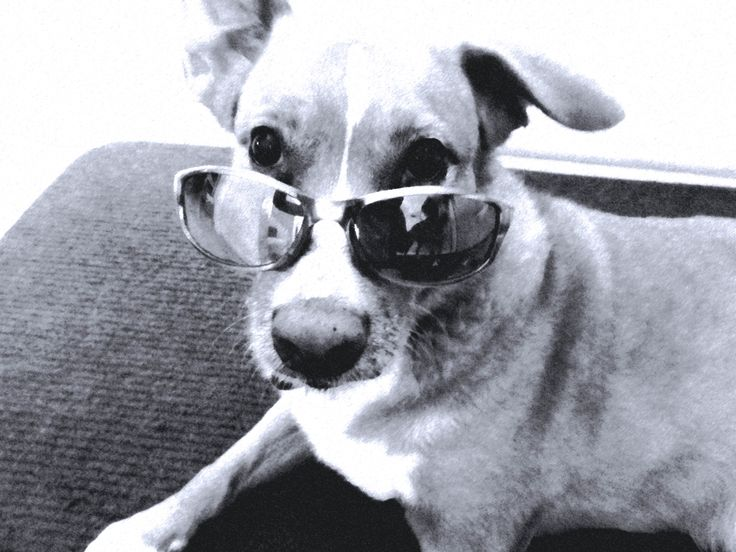 Cool dogs with sunglasses - photo#3