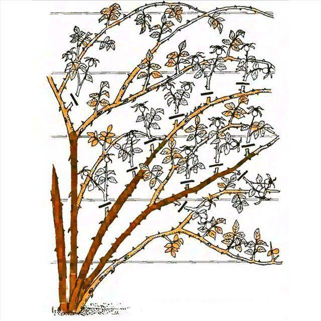 Обрезка плетистые розы уход и выращивание 37