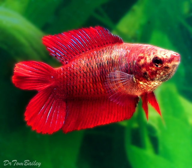 Female red double tail betta fish goldfish betta koi for Female betta fish names