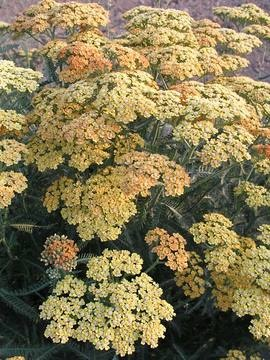 Achillea 'Terra Cotta' - 2012 fence border - decent but not super robust compared to the other fence border plants