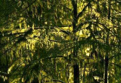 pacific northwest rainforest  Pacific Northwest Rainforest Closeup. Mos...