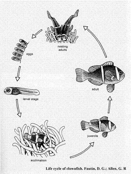 Clown Fish Diagram Wiring Diagrams